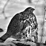 Close-up of a plump and round bird, with a great variety of patterned feathers, is walking on snow encrusted ground.