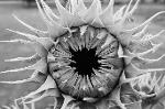 Sunflower with petals tightly wrapped around its center waiting for the sun to rise and start its day.